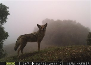 Coyote roaming the hills of Sonoma County at Hafner Vineyard.