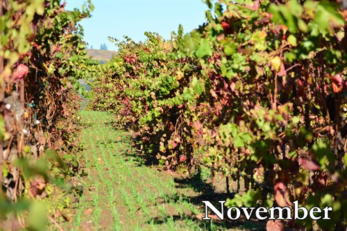 Seeded cover crop begins to grow during November at Hafner Vineyard