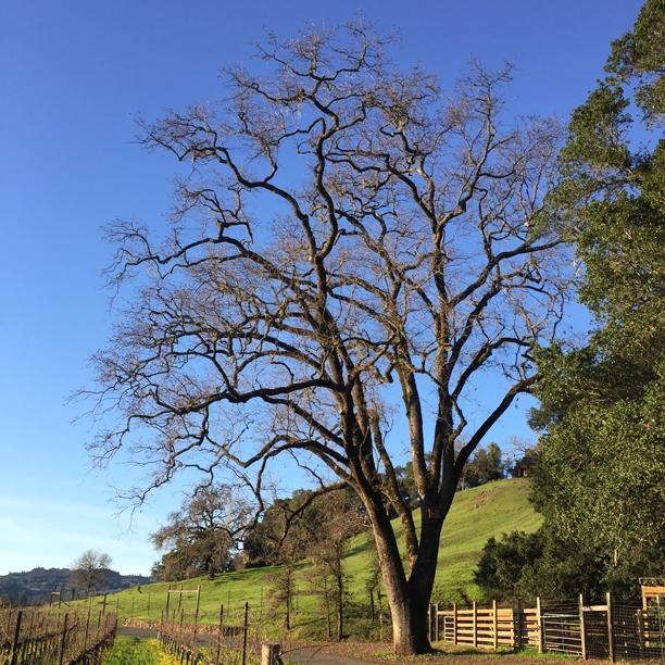 Oak at Hafner Vineyard in Alexander Valley