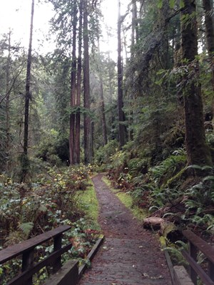 Redwood Forest in Sonoma County. Armstrong Woods offers wonderful hikes.