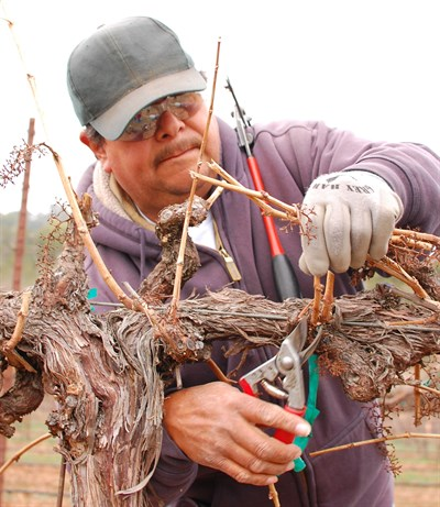 Antonio Pruning at Hafner Vineyard