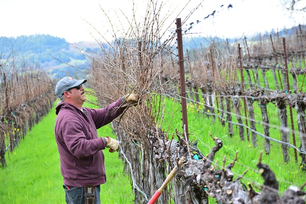 Martin Pruning at Hafner Vineyard