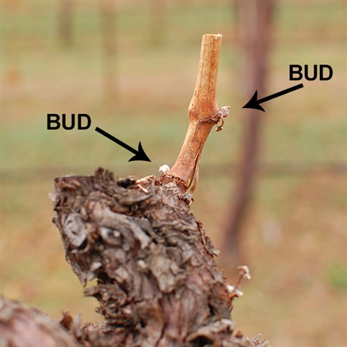 Buds on a Grapevine