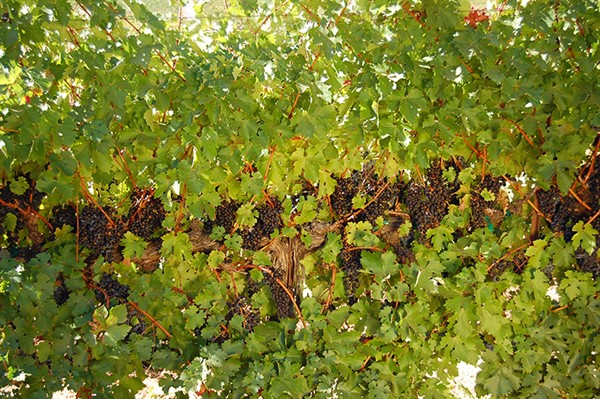 Cabernet Sauvignon on the Vine
