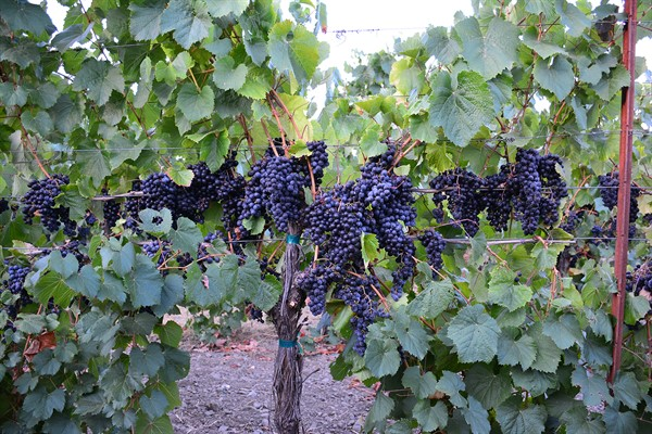 Malbec on the Vine
