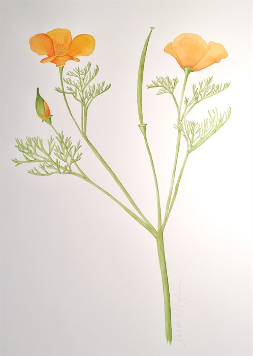 California Poppy Watercolor