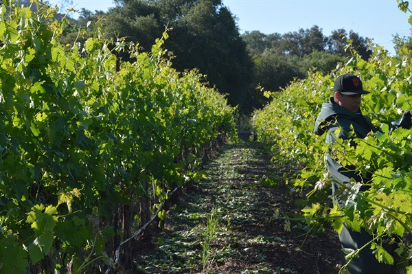 Vineyard Work at Hafner